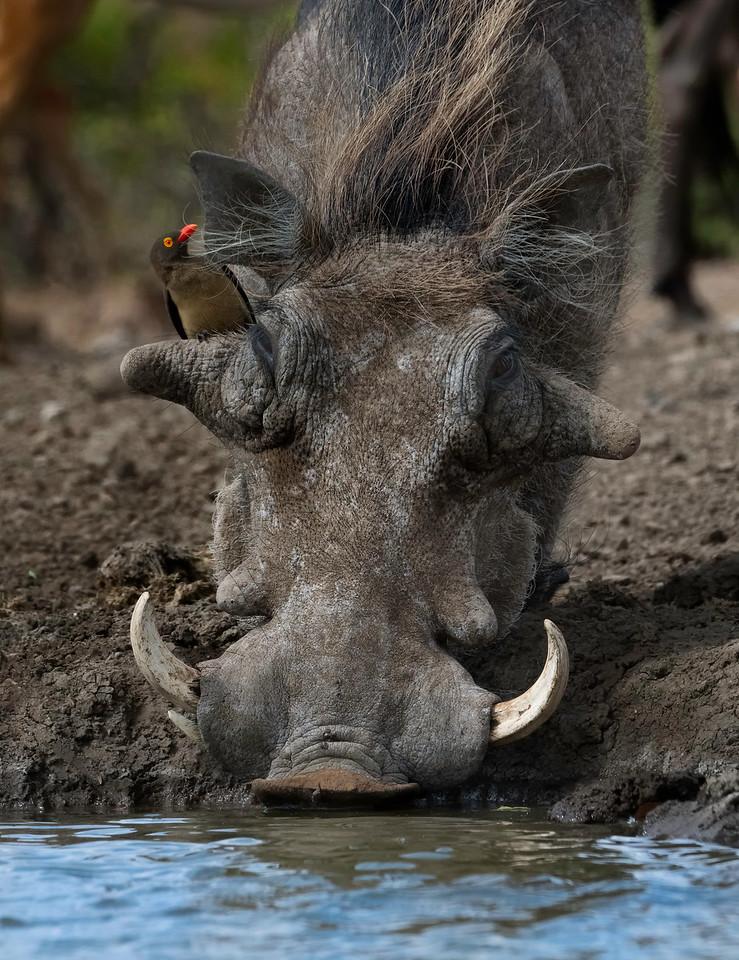 Warthog and oxpicker