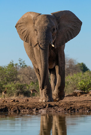 Bull Elephant coming in for an early morning drink
