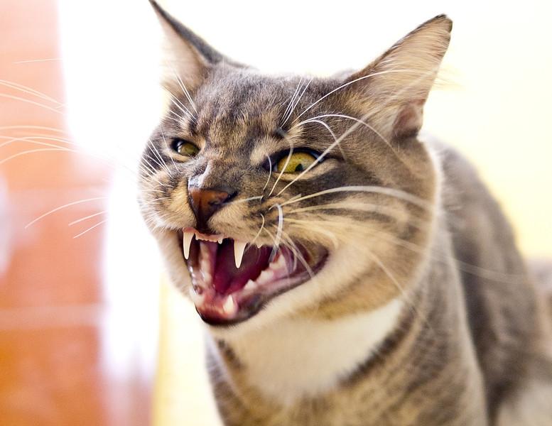 Cat yawning, Mahahual, Mexico