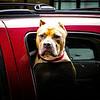 Dog waiting in car, Juneau, Alaska