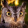 Western Screech Owl, Ketchikan, Alaska