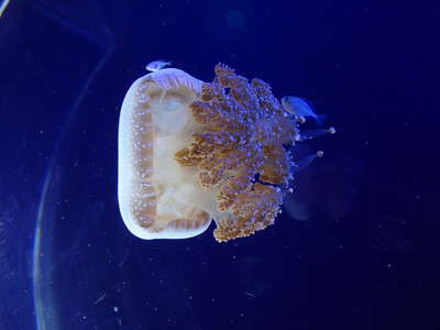 A jellyfish at Underwater World Langkawi