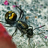 Polyrhachis ammon - Queen