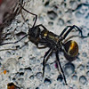 Polyrhachis ammon - Worker