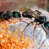 Green Headed Ant Queens