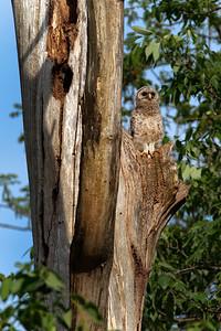 Barred Owl at Horsepen Run Stream Valley Park - May 2012
