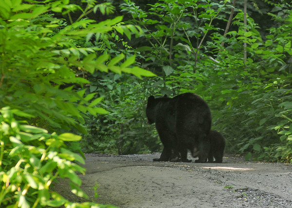 """<div class=""""jaDesc""""> <h4> Mama Black Bear Leaving with Cubs - June 21, 2016 </h4> <p>Satisfied that there was no more food to be had, mama moved on down the driveway with her cubs along side.</p> </div>"""
