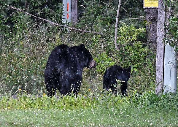 "<div class=""jaDesc""> <h4> Mama Black Bear with Cubs - July 17, 2020 </h4> <p>Mama Bear and two cubs were eating bird seed in my front yard at 4PM.  As I went to get my camera, it started pouring rain and they took off across our front lawn headed for the woods.</p> </div>"