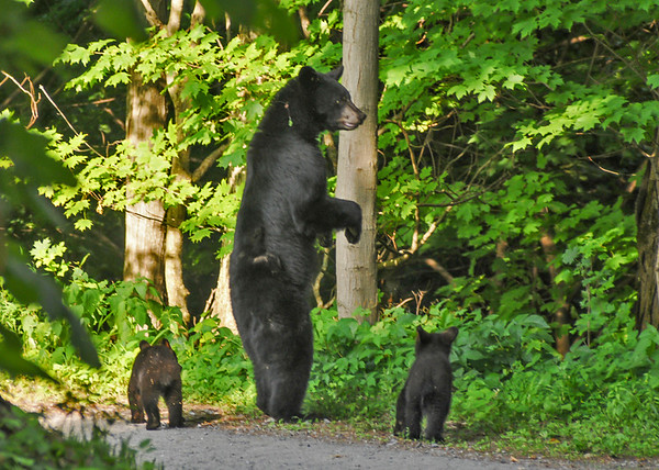 """<div class=""""jaDesc""""> <h4> Mama Black Bear Guarding Her Cubs - June 21, 2016 </h4> <p>After leaving the front yard, mama Black Bear stood up to look down toward the Susquehanna River by Lock Haven, PA.  She stands 7 feet tall, the height of the hanging flower baskets she was head high with on the porch. </p> </div>"""