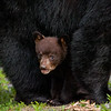 This cub was one of four cubs in the Western North Carolina Mountains. The other three cubs were out running up a tree but this little fellow stayed under Mom. Thanks Momma Bear for letting me take pictures of your babies.