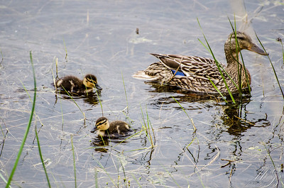 FM Mallard Duck with ducklings