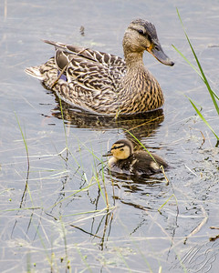 FM Mallard Duck with duckling