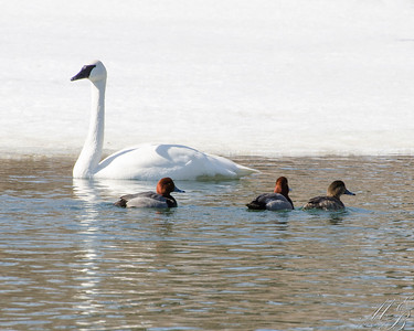 Trumpeter Swan and Redhead ducks