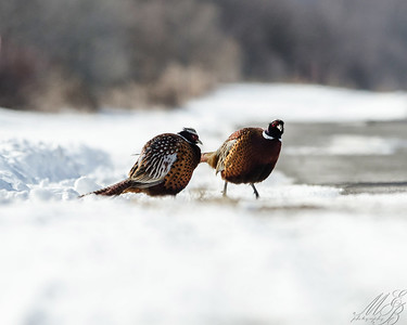 Ring-necked Pheasants