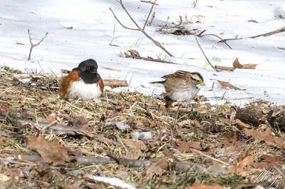 Eastern Towhee and White-throated Sparrow