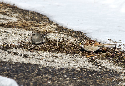 Dark-eyed Junco  and White-throated Sparrow