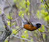 American Robin on the wing