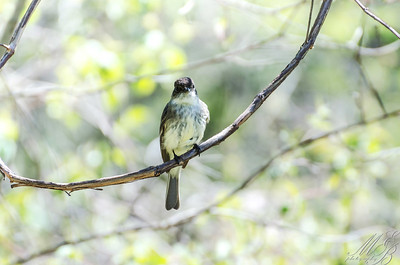 Eastern-wood Pewee