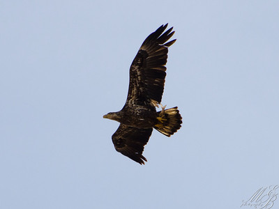 Juvenile Bald Eagle with fish