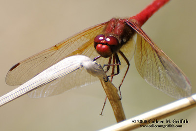 Cardinal Meadowhawk Dragonfly © 2008 Colleen M. Griffith. All Rights Reserved.  This material may not be published, broadcast, modified, or redistributed in any way without written agreement with the creator.  This image is registered with the US Copyright Office. www.colleenmgriffith.com www.facebook.com/colleen.griffith  Dragonfly at Gold Bluffs Beach, Redwood National Park, CA