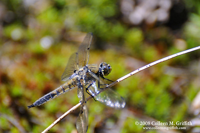 Dragonfly at Dog Lake © 2008 Colleen M. GGriffith.All Rights Reserved.  This material may not be published, broadcast, modified, or redistributed in any way without written agreement with the creator.  This image is registered with the US Copyright Office. www.colleenmgriffith.com www.facebook.com/colleen.griffith