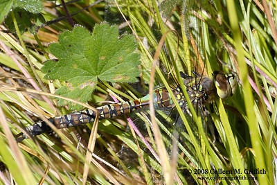 Nature's Camouflage © 2008 Colleen M. Griffith. All Rights Reserved.  This material may not be published, broadcast, modified, or redistributed in any way without written agreement with the creator.  This image is registered with the US Copyright Office. www.colleenmgriffith.com www.facebook.com/colleen.griffith