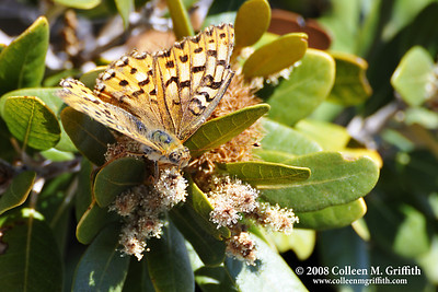 © 2008 Colleen M. Griffith Friend Colleen on Facebook Butterfly at Mt. Shasta, CA