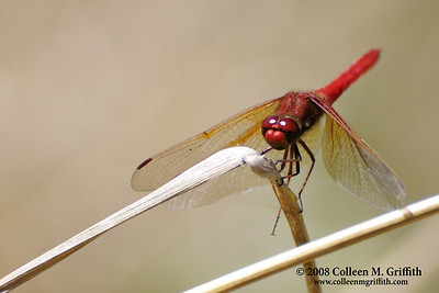 Red © 2008 Colleen M. Griffith. All Rights Reserved.  This material may not be published, broadcast, modified, or redistributed in any way without written agreement with the creator.  This image is registered with the US Copyright Office. www.colleenmgriffith.com www.facebook.com/colleen.griffith  Cardinal Meadowhawk Dragonfly at Gold Bluffs Beach, Redwood National Park, CA (Thx Judith for identifying it for me!).  I managed to find a perch where this little guy repeatedly returned - so I patiently waited for the perfect shot.  This was taken by hand in low light conditions.