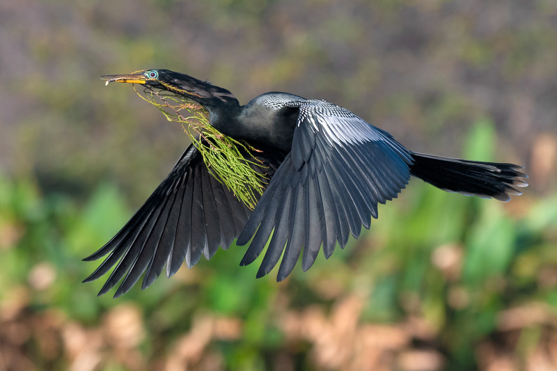 Male Anhinga with nesting materials