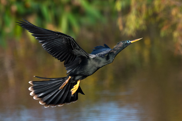 Male anhinga with breeding plumage in flight