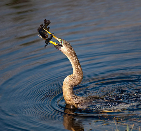 Anhinga with string and fish