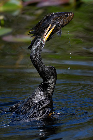 Anhinga with recaptured fish