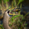 Fast Food: female anhinga enjoys her catch.