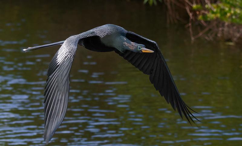 Male anhinga in flight