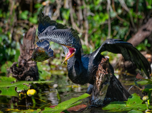 Anhinga: The one that got away, but which would later be recaptured