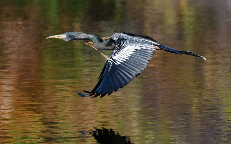 Male Anhinga in flight with nesting materials