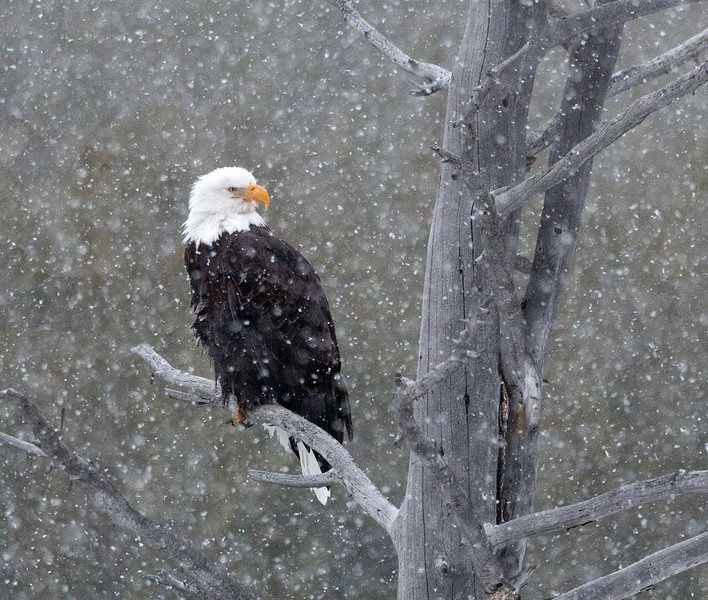 Patience in a snowstorm: bald eagle