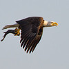 Bald Eagle with catfish, Lake Toho, Florida<br /> <br /> Photo by Ron Bernstein 3/15/11 at 5:35:54 PM with a Canon EOS 7D ISO of 500, shutter speed of 1/1000 at f/5.6.