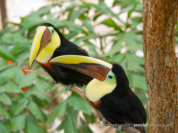 Chestnut Mandibill Toucans (Central America)