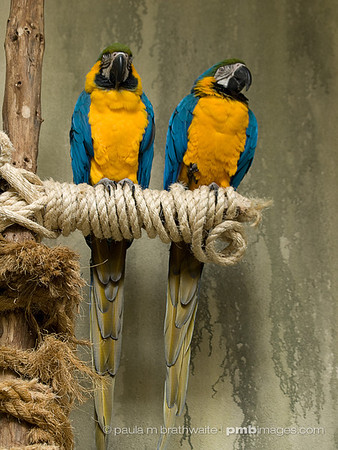 Blue & Gold Macaws (South America)