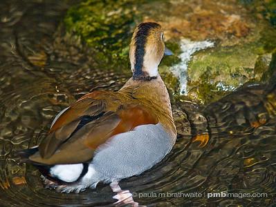 Mandarin Duck (Southeast Asia)