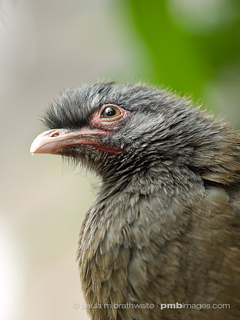 Chaco Chachalaca (South America)