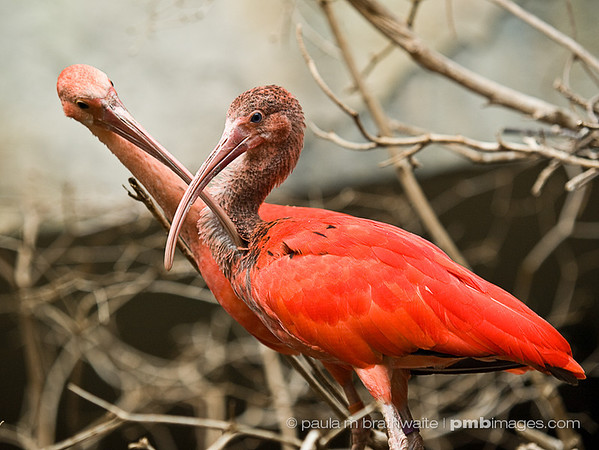 Scarlet Ibis (South America)