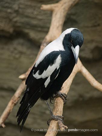 Australian Singing Crow (Australasia)