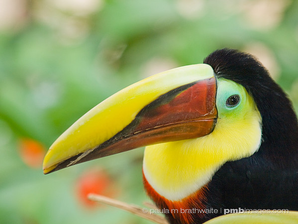 Chestnut Mandibill Toucan (Central America)
