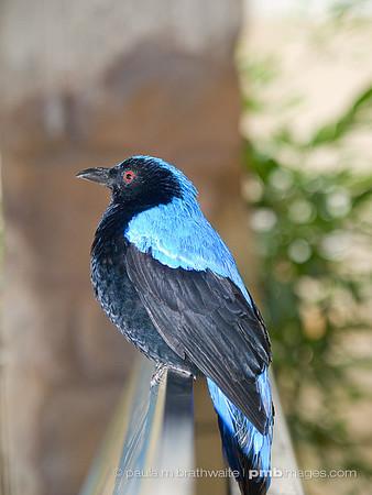 Fairy Blue Bird (Southeast Asia)