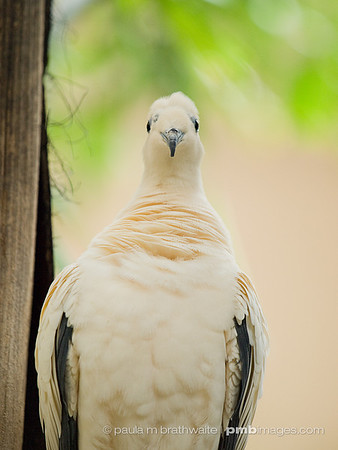 Pied-Imperial Pigeon (Asia)