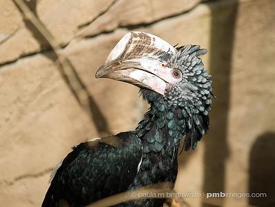 Silver Cheeked Hornbill (Africa)