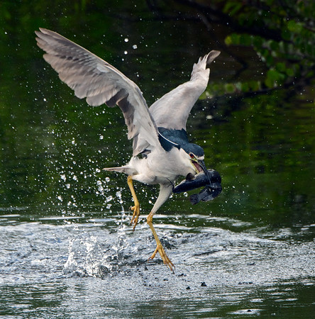 The Catch! Black Crowned Night Heron with a catfish