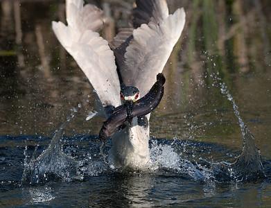 Got it! Black-crowned night heron with catfish